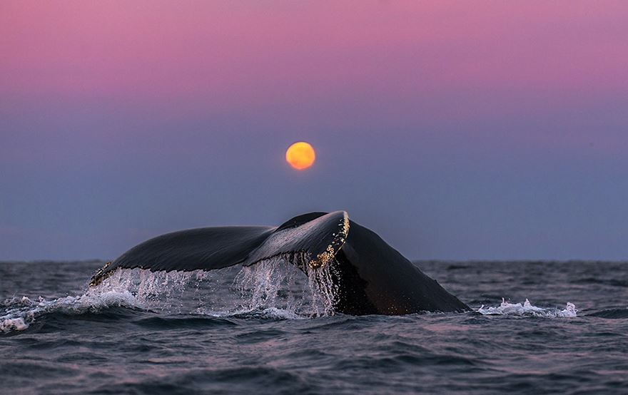 arctic-whales-photography-audun-rikarsen-24-582abcaff2a6f__880